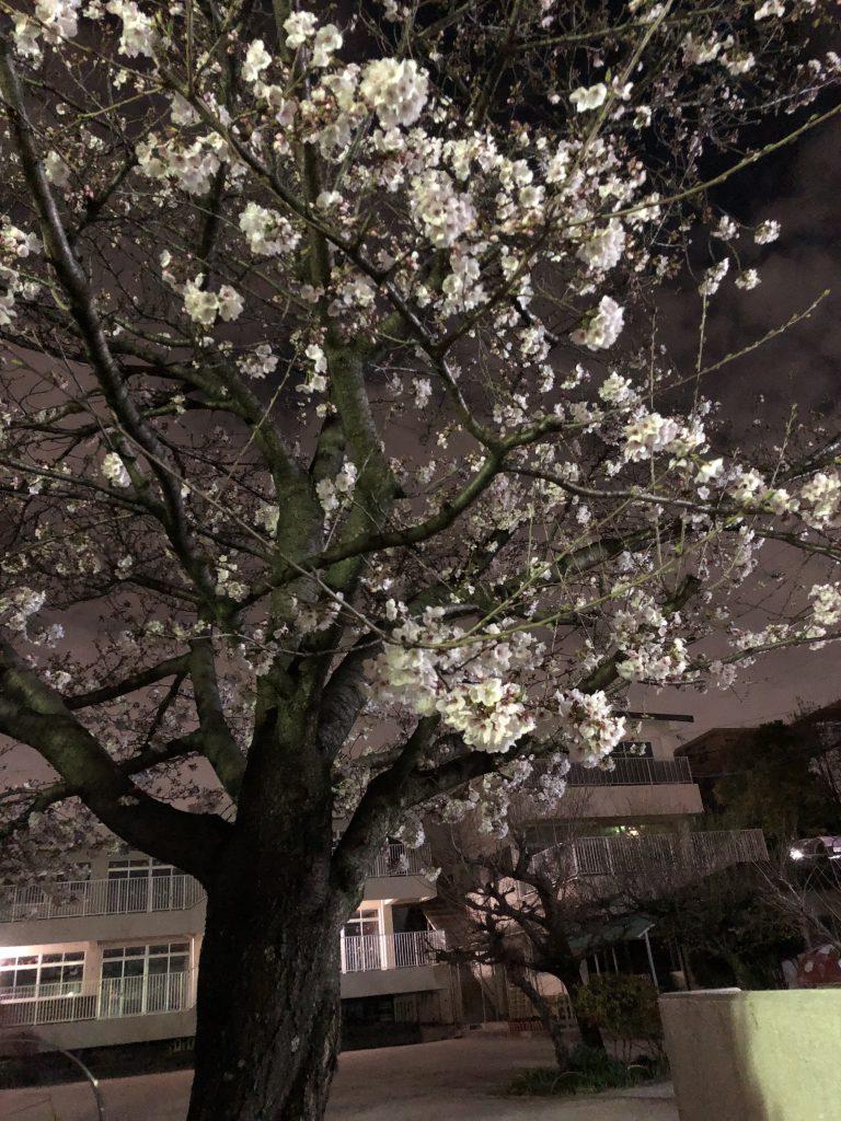 猫ヶ洞通りの夜桜